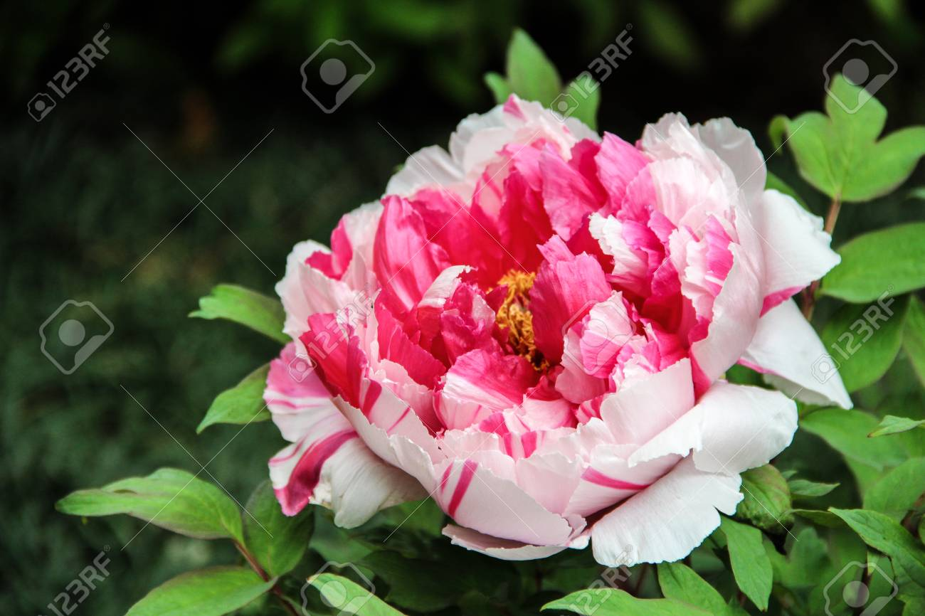 Pink And White Peony In The Garden Burgundy Peony Flower Large Stock Photo Picture And Royalty Free Image Image 107227450