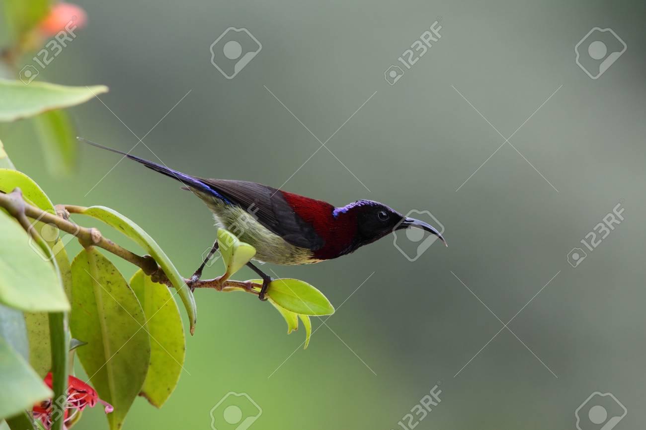 Black throat sunbird Stock Photo - 8824872