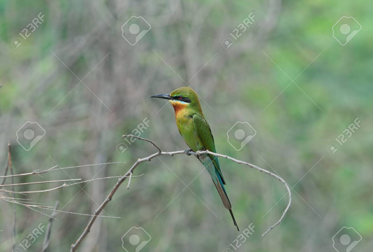 Blue-tailed Bee-eater Stock Photo - 13193679