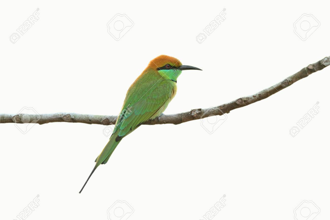 Green Bee-eater isolated on white background Stock Photo - 14005585
