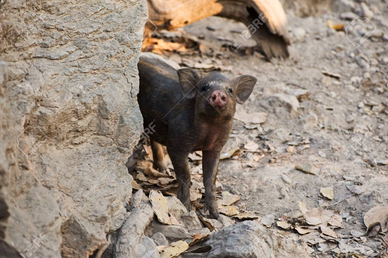 Young wild pig Stock Photo - 18424395