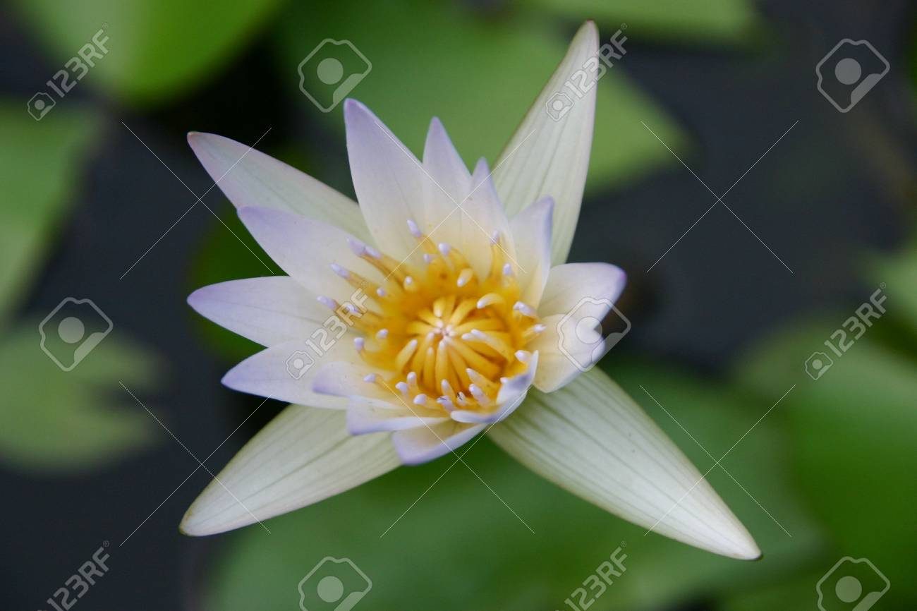 White star flower stock photo picture and royalty free image image stock photo white star flower mightylinksfo