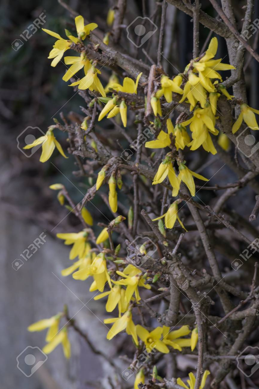 Early spring flowering shrubs with yellow flowers forsythia early spring flowering shrubs with yellow flowers forsythia intermedia stock photo 100123885 mightylinksfo