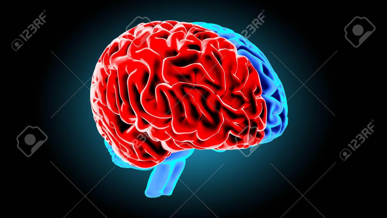 Das Menschliche Gehirn 3D übertragen Lizenzfreie Fotos, Bilder Und ...