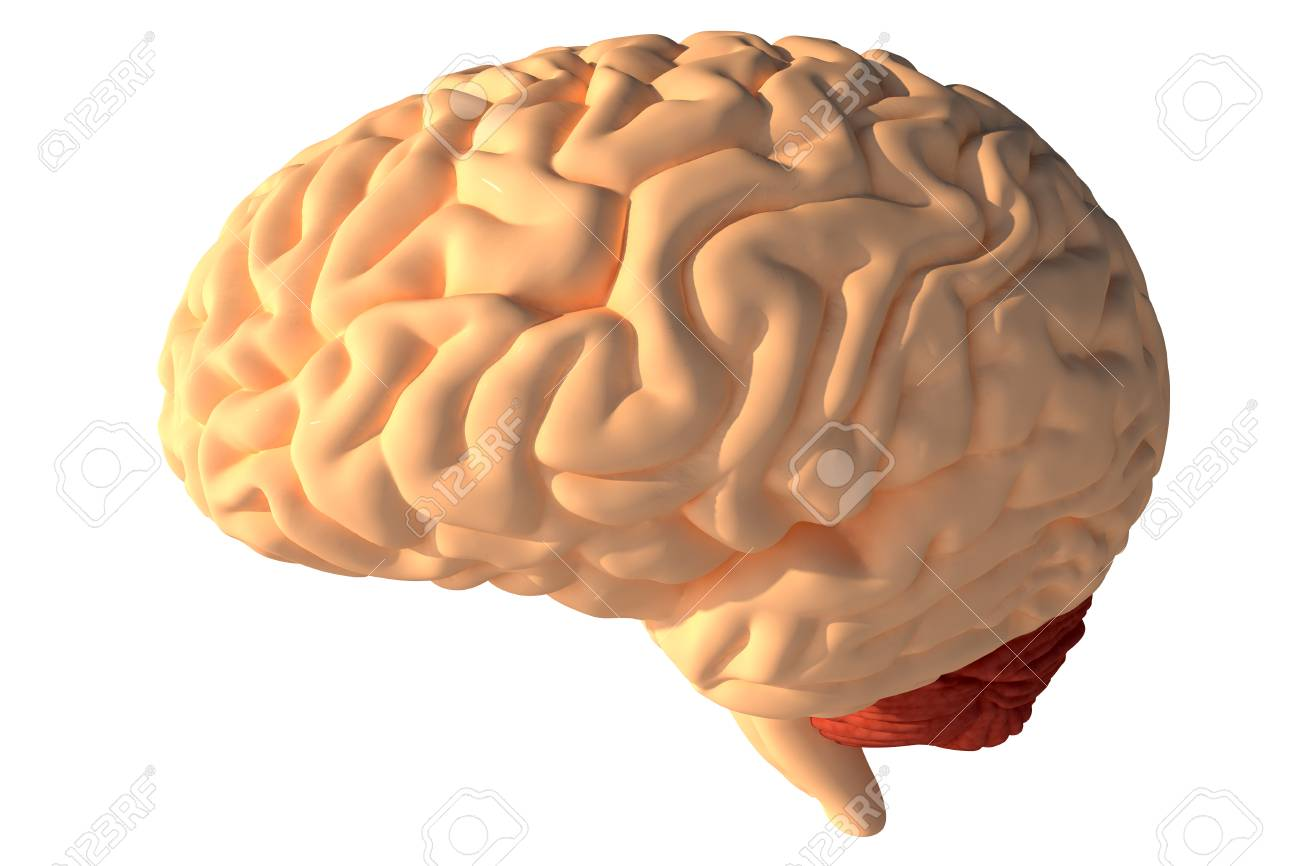 Human Brain 3D Render Stock Photo, Picture And Royalty Free Image ...