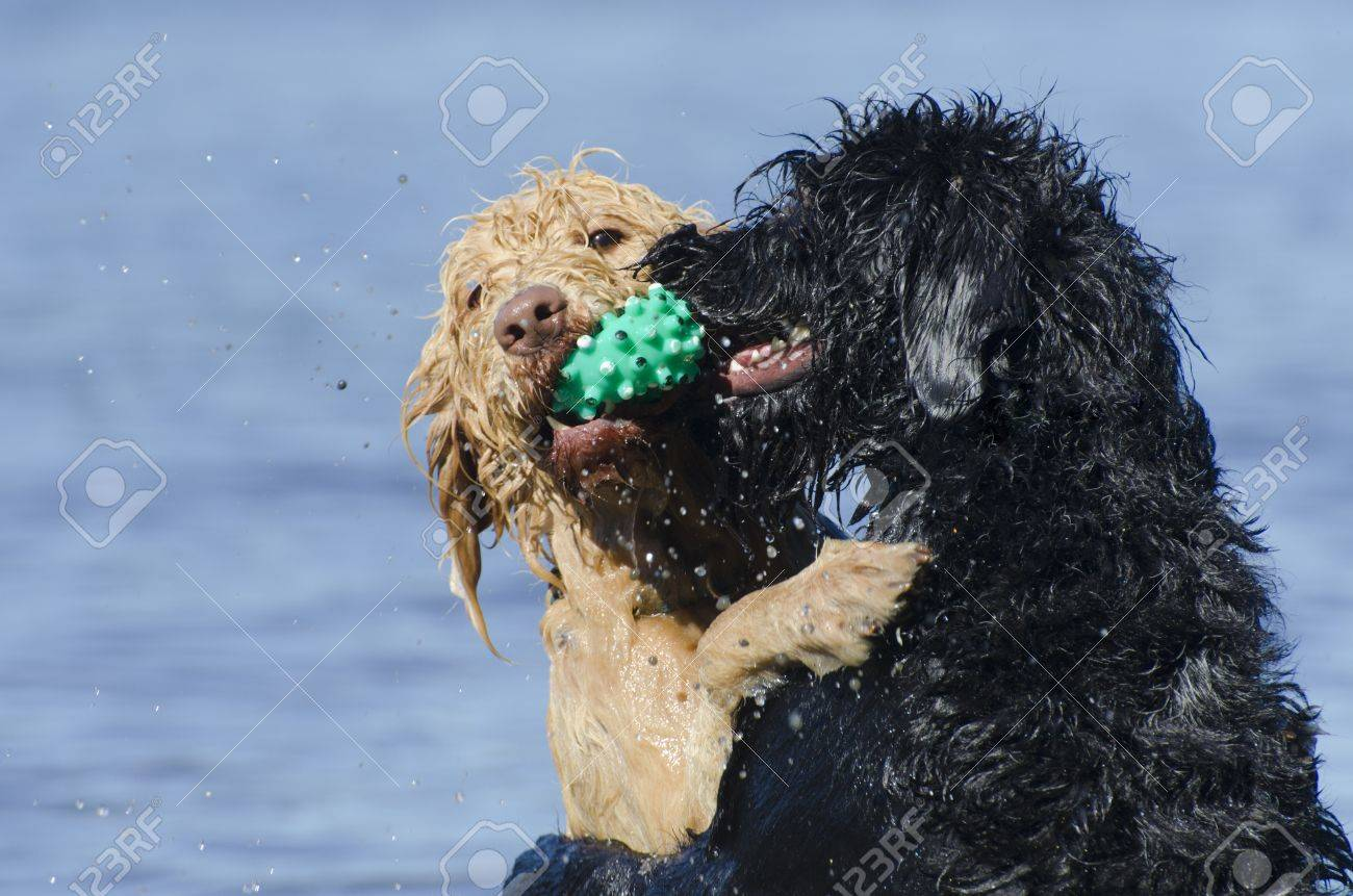 Two labradoodles playing in the lake with the blonde dog retrieving