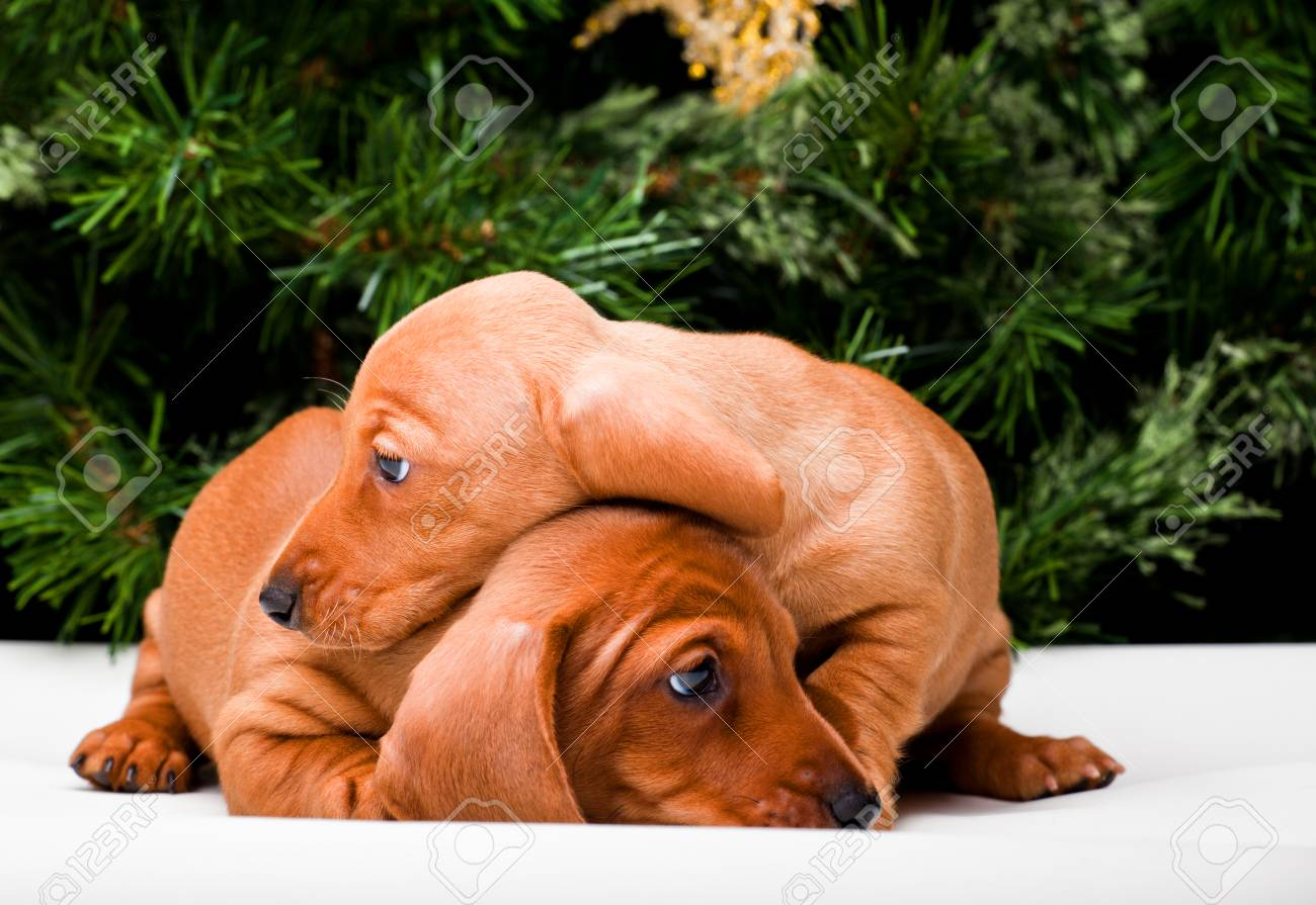 stock photo two dachshund dog puppy happy new year 2018