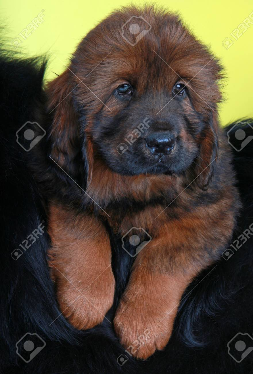 tibetan mastiff puppies in studio quality