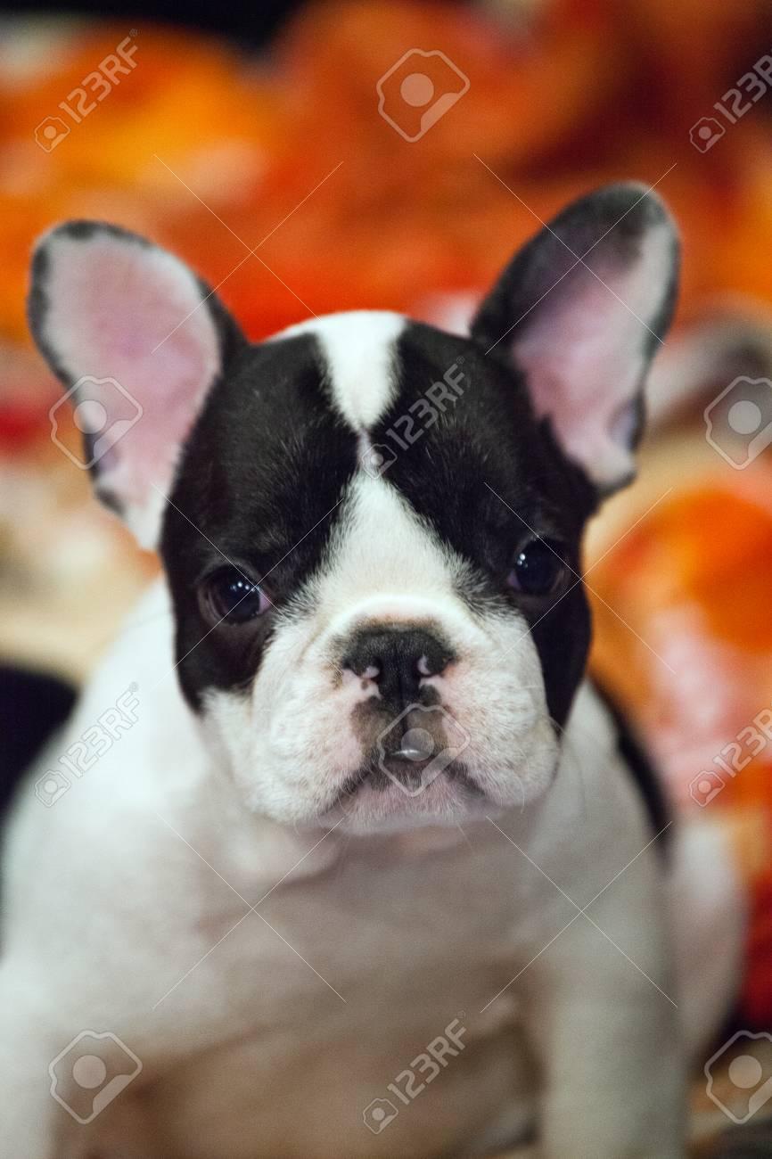 Funny French Bulldog Puppy Fotos Retratos Imagenes Y Fotografia De Archivo Libres De Derecho Image 111167280