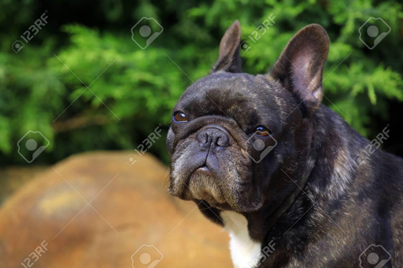 Black french bulldog garden - 121527347