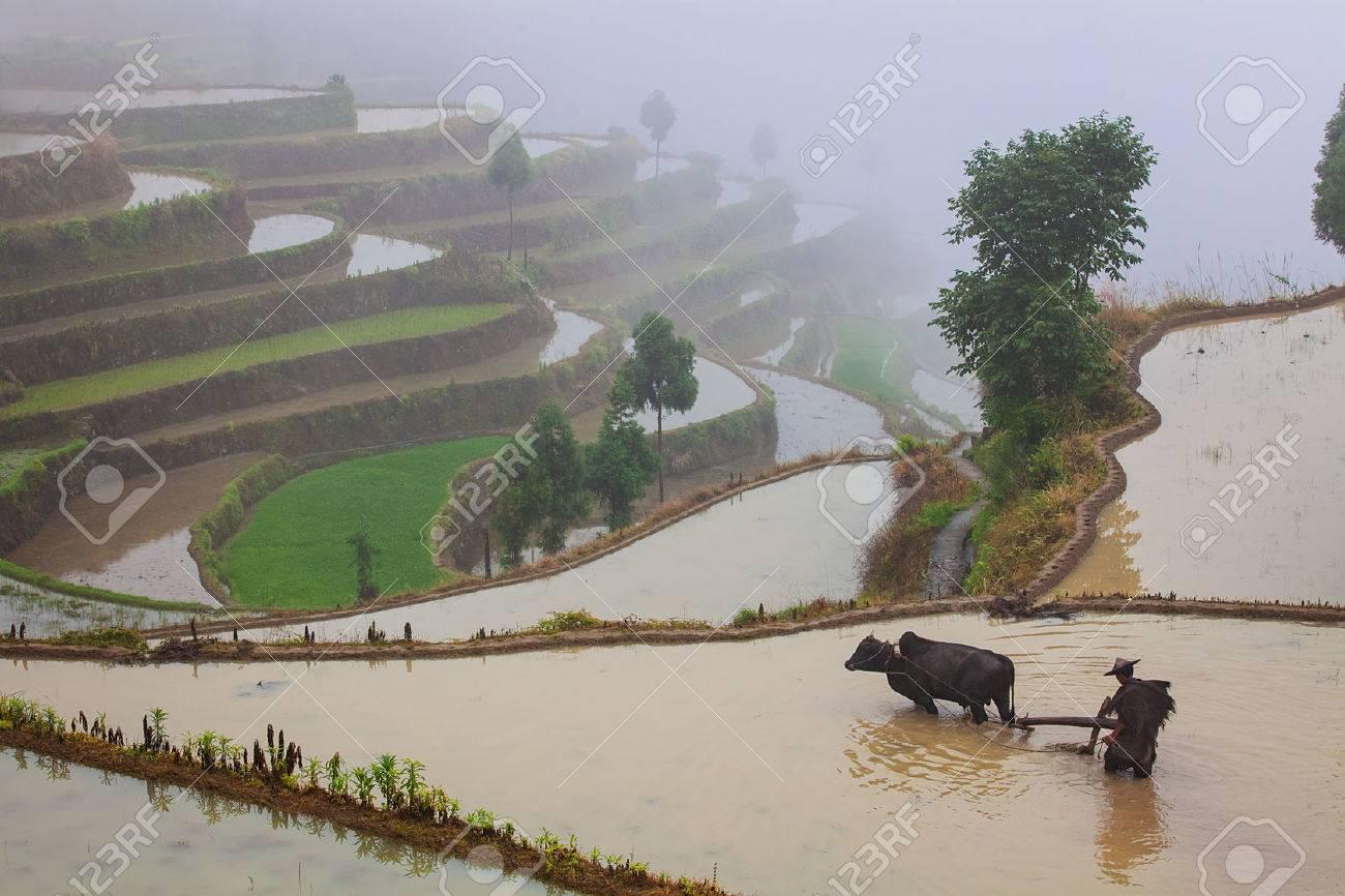 Granjero Asiático Que Trabaja Con Su Búfalo En Campo De Arroz En Terrazas En China