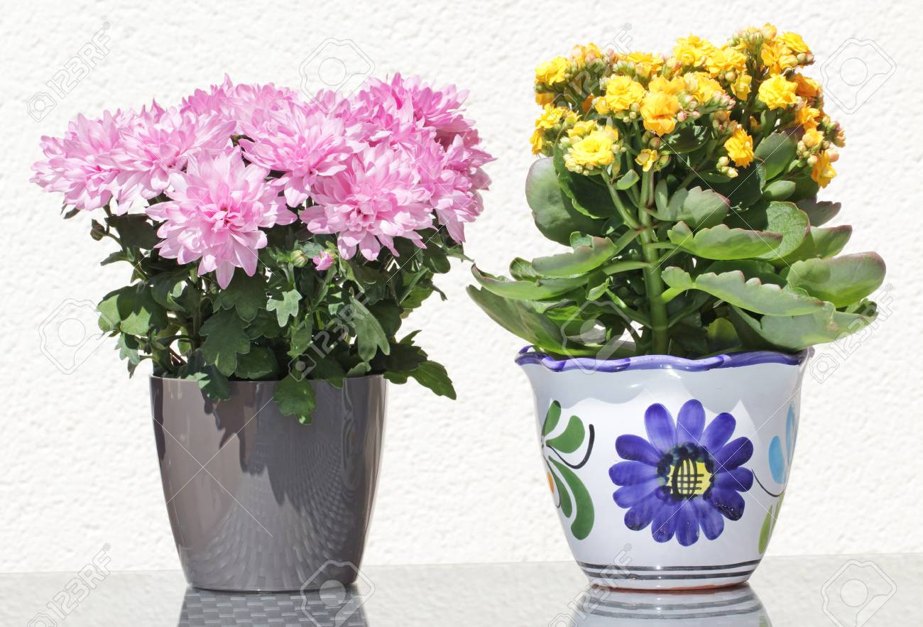 Pink Potted Aster And Yellow Potted Kalanchoe Flowers In Beautiful