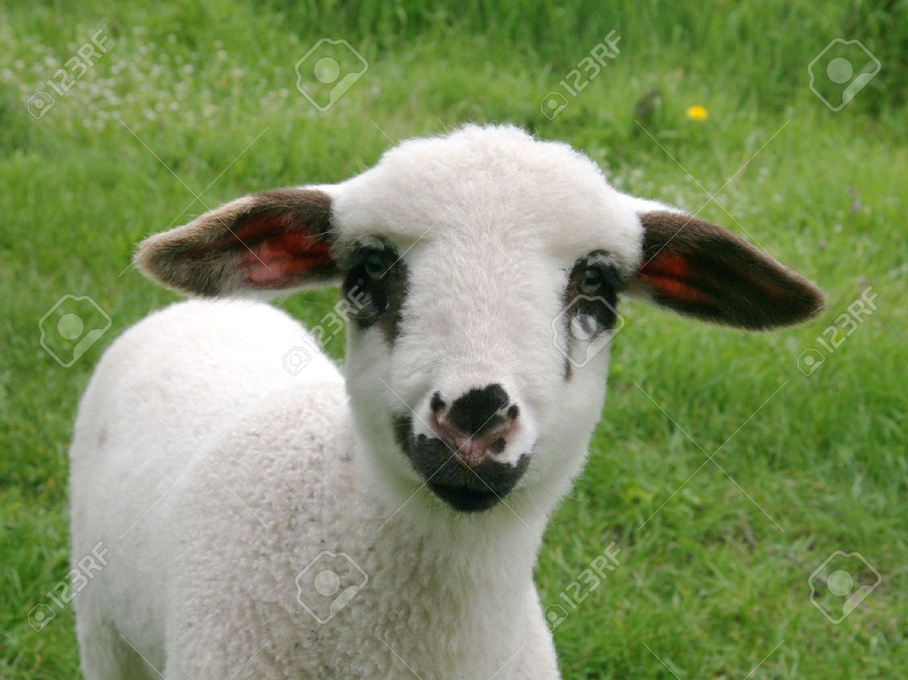 Lamb En Face Stock Photo, Picture And Royalty Free Image. Image ... for Sheep Face Black And White  156eri