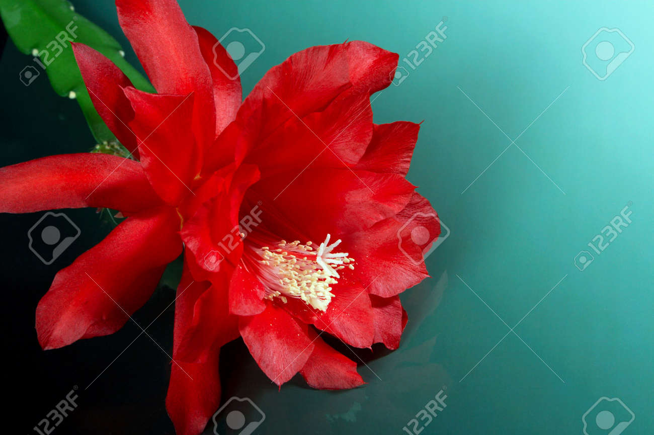Cactuses blossom very seldom, but occurrence of colors causes a lot of pleasure Stock Photo - 3111683