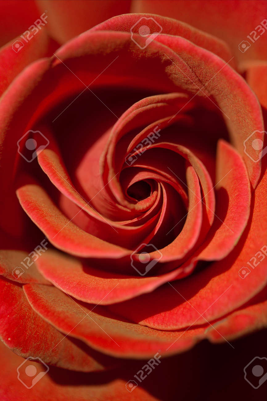 The Beautiful Red Rose Is A Symbol Of Love