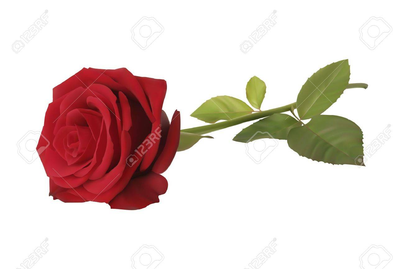 Vector of a realistic red rose on white background Stock Vector - 18931786