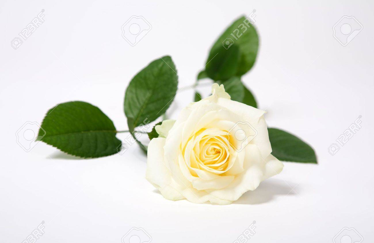 White  single rose isolated on white with green leaves Stock Photo - 5504314