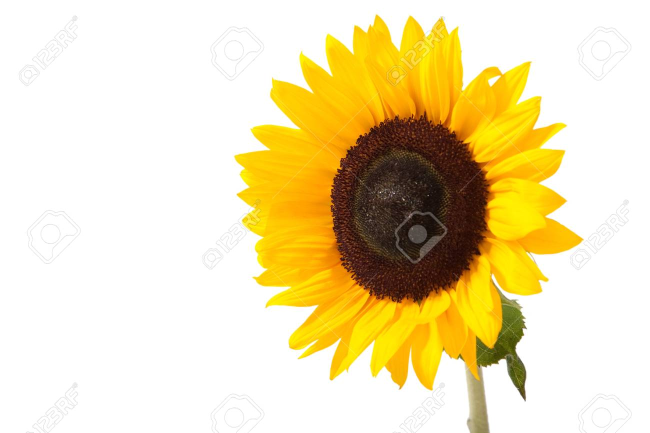 Sunny yellow sunflower isolated over white with green leaves Stock Photo - 5984522