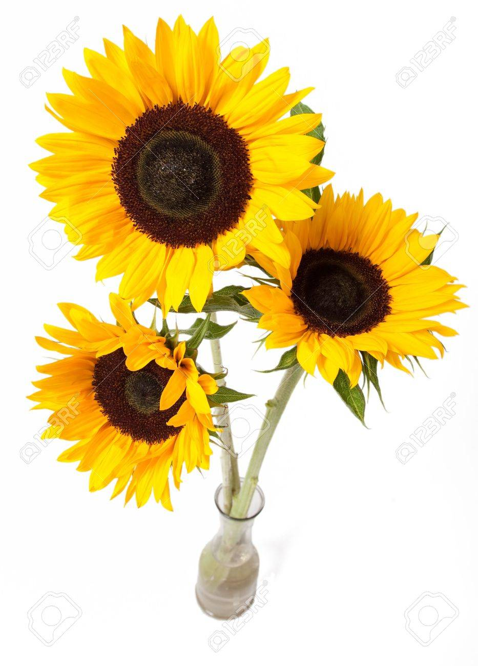 Three yellow sunflowers in vase isolated over white Stock Photo - 5984524