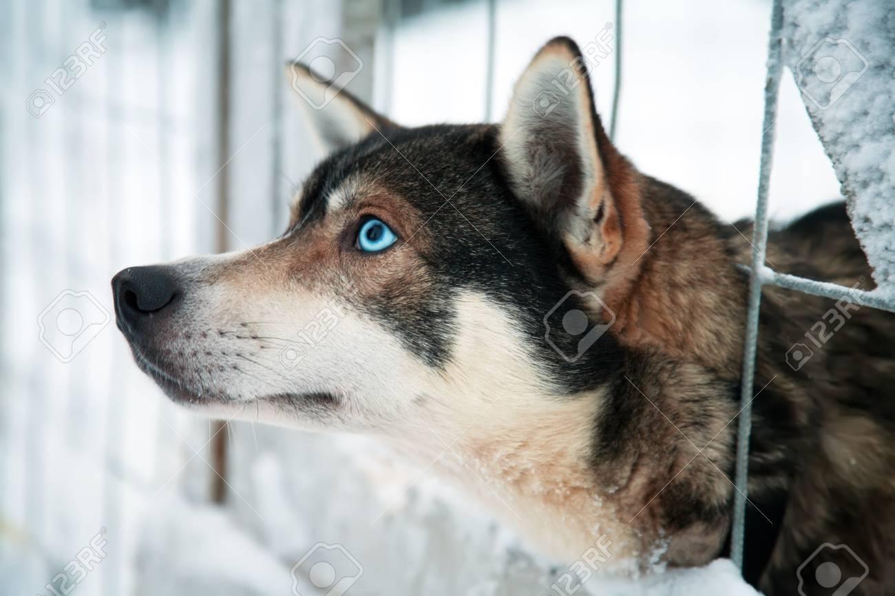 Husky dog Stock Photo - 11373924
