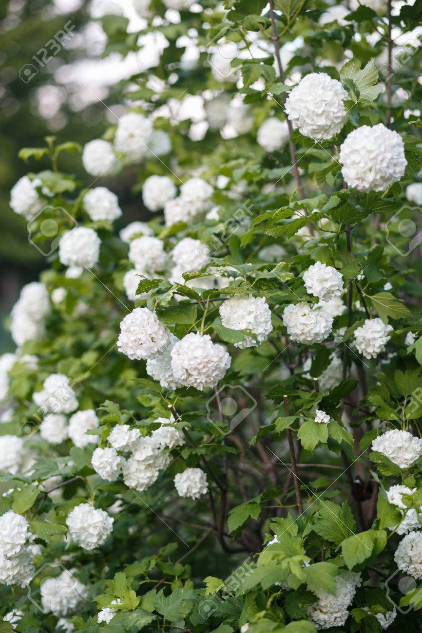 White Flowers Of Viburnum Stock Photo Picture And Royalty Free