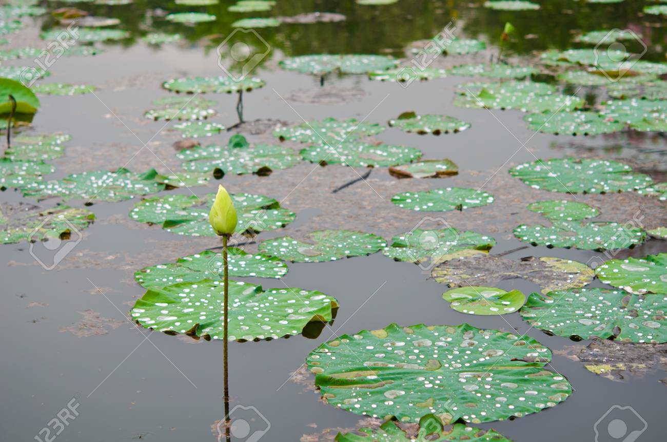 Big lotus pond in Thailand Stock Photo - 12449628