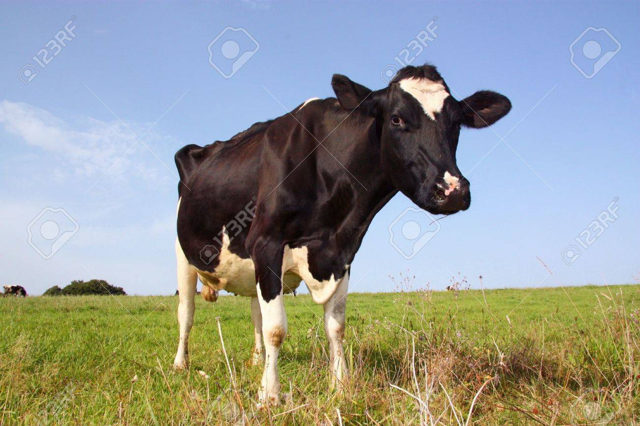 A Holstein-Friesland dairy cow in a sunlit pasture Stock Photo - 4612194
