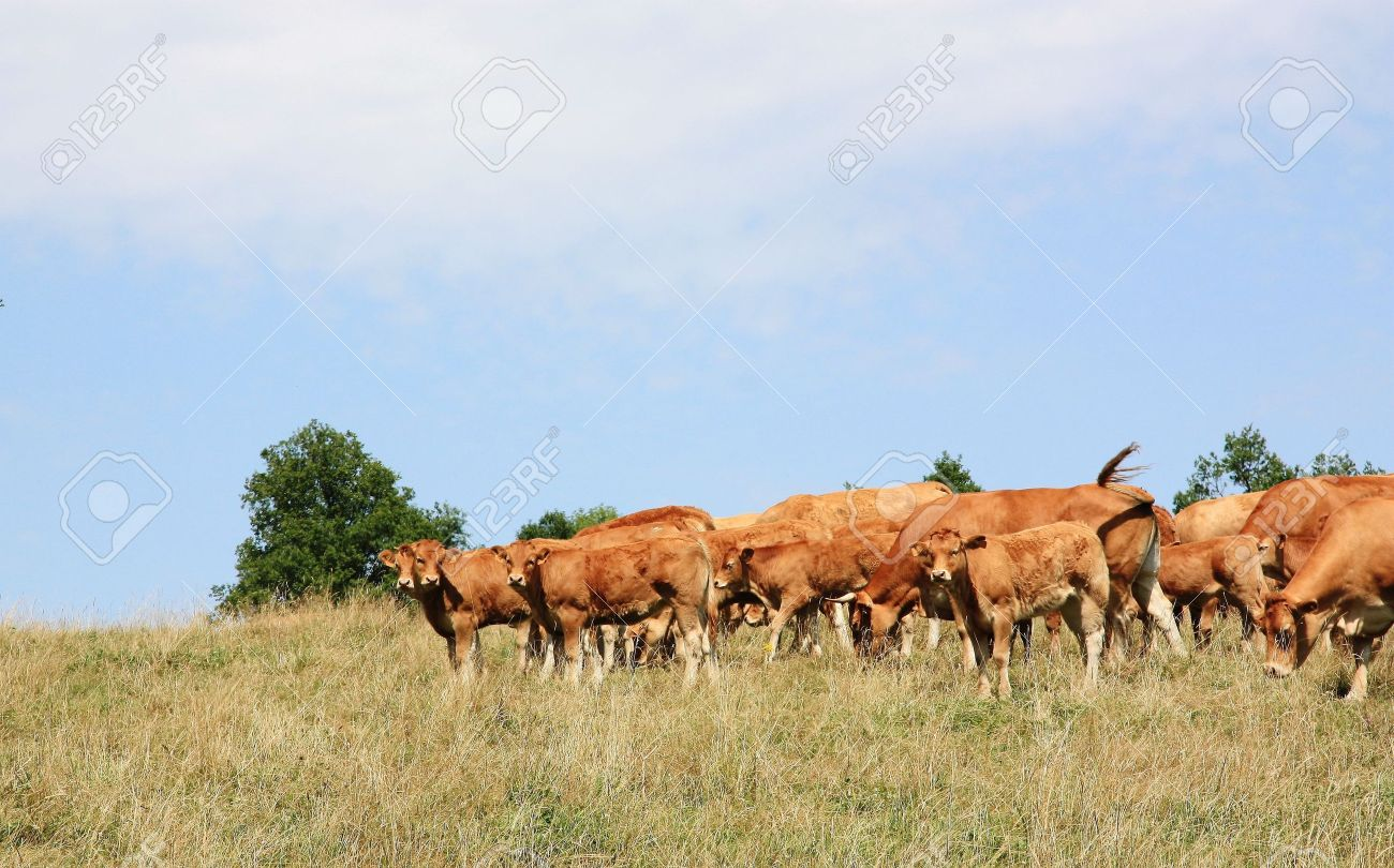 A herd of Limousin cattle with young calves in a dry summer pasture Stock Photo - 5921547