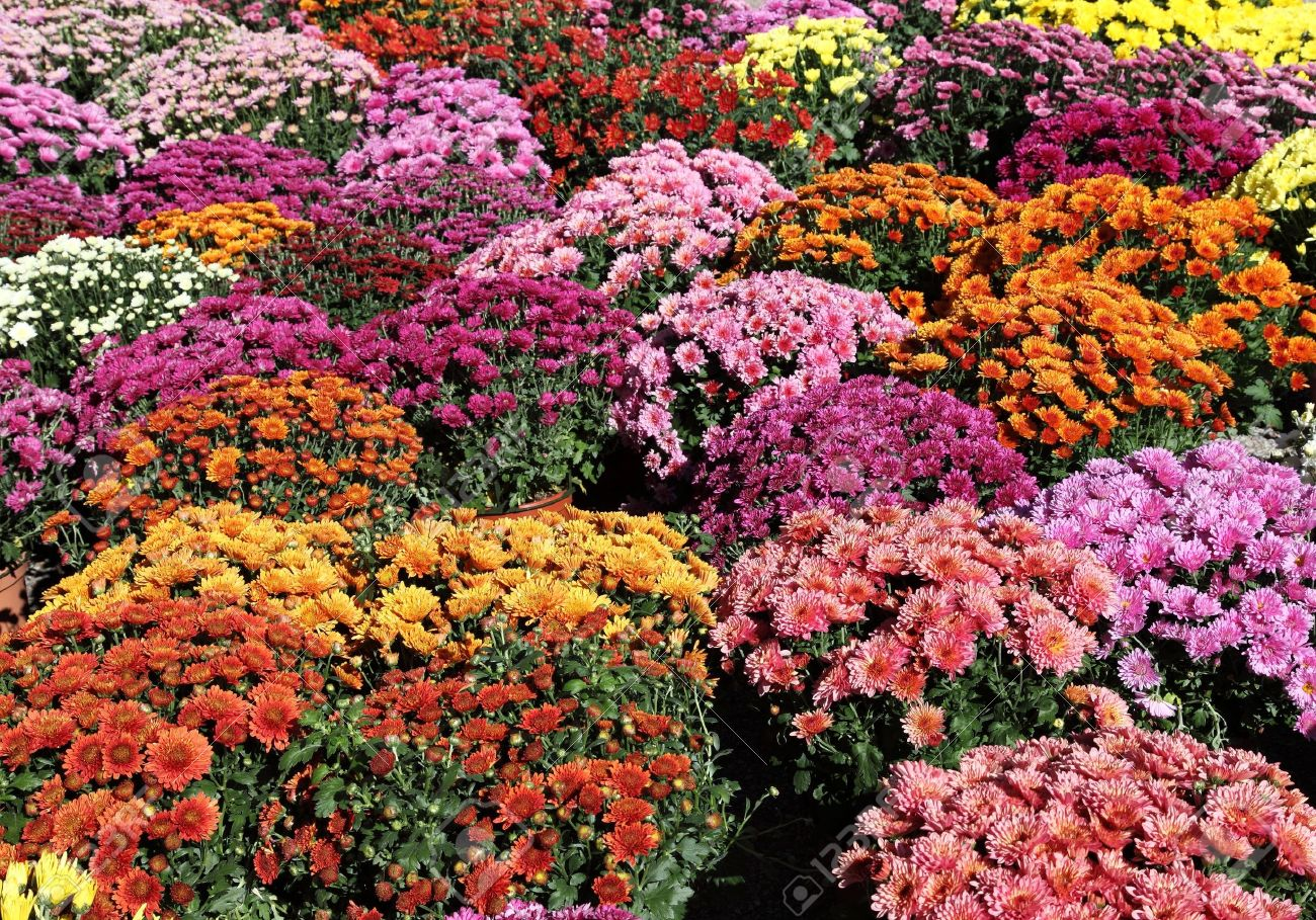 Colourful background of pots of autumn chrysanthemums. Stock Photo - 8239052