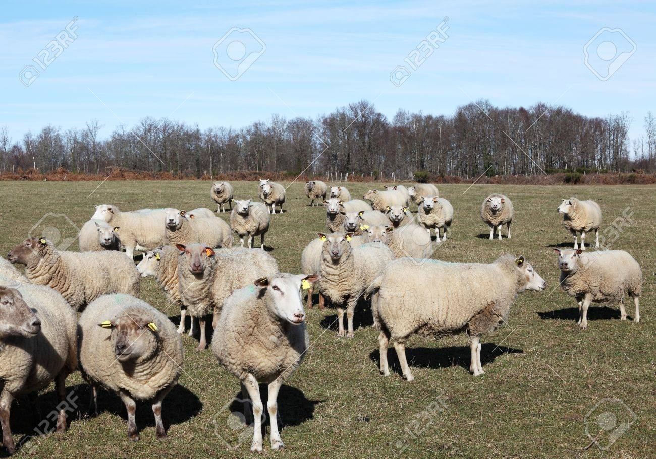 Flock of inquisitive sheep in winter pasture facing camera. Stock Photo - 12045710