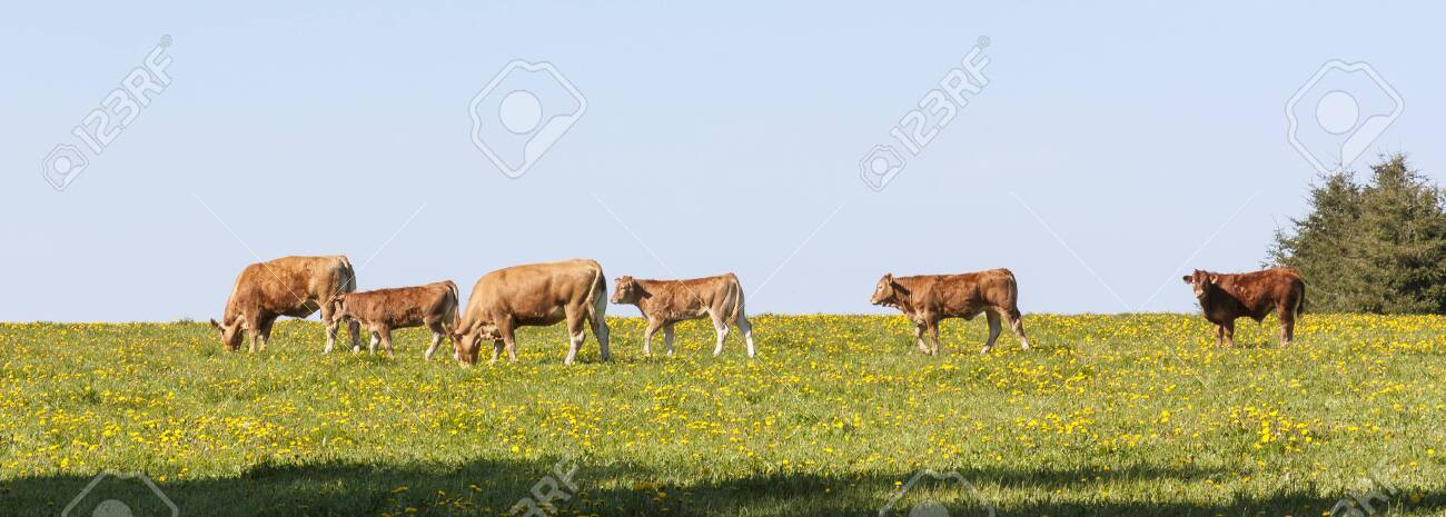 Horizontal Banner Of A Small Herd Of Young Limousin Beef Cattle Stock Photo Picture And Royalty Free Image Image 136203249