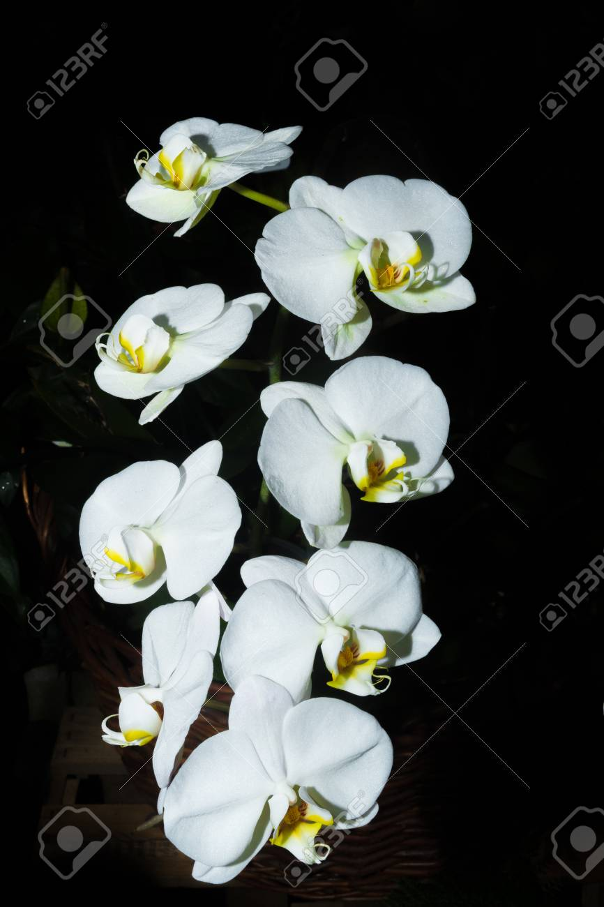 White Orchid Flowers Close Up In The Botanical Garden Lifestyle