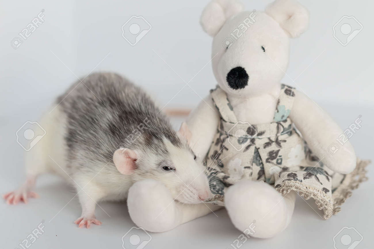 A cute decorative black and white rat sits next to a plush rat doll. Concept: year of the rat according to the Eastern calendar. Rat toy - 164397264