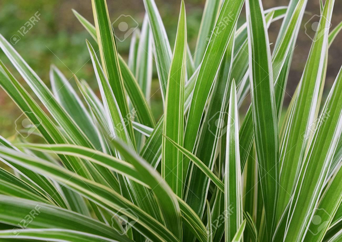green leaves of spider plant chlorophytum comosum or chlorophytum