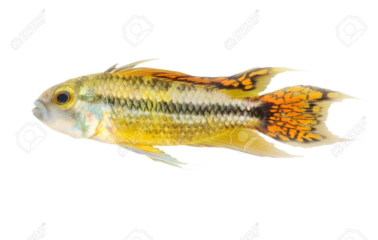 colorful swimming cichlid fish Stock Photo - 10200369