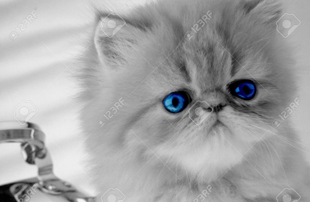 Persian Kitten With Dark Blue Eyes Looks In The Chamber Grey