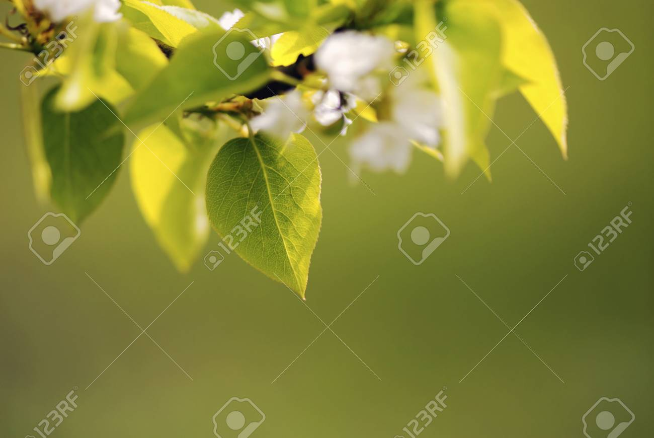 Flowers pear of white color - on green background, close up - 2972297
