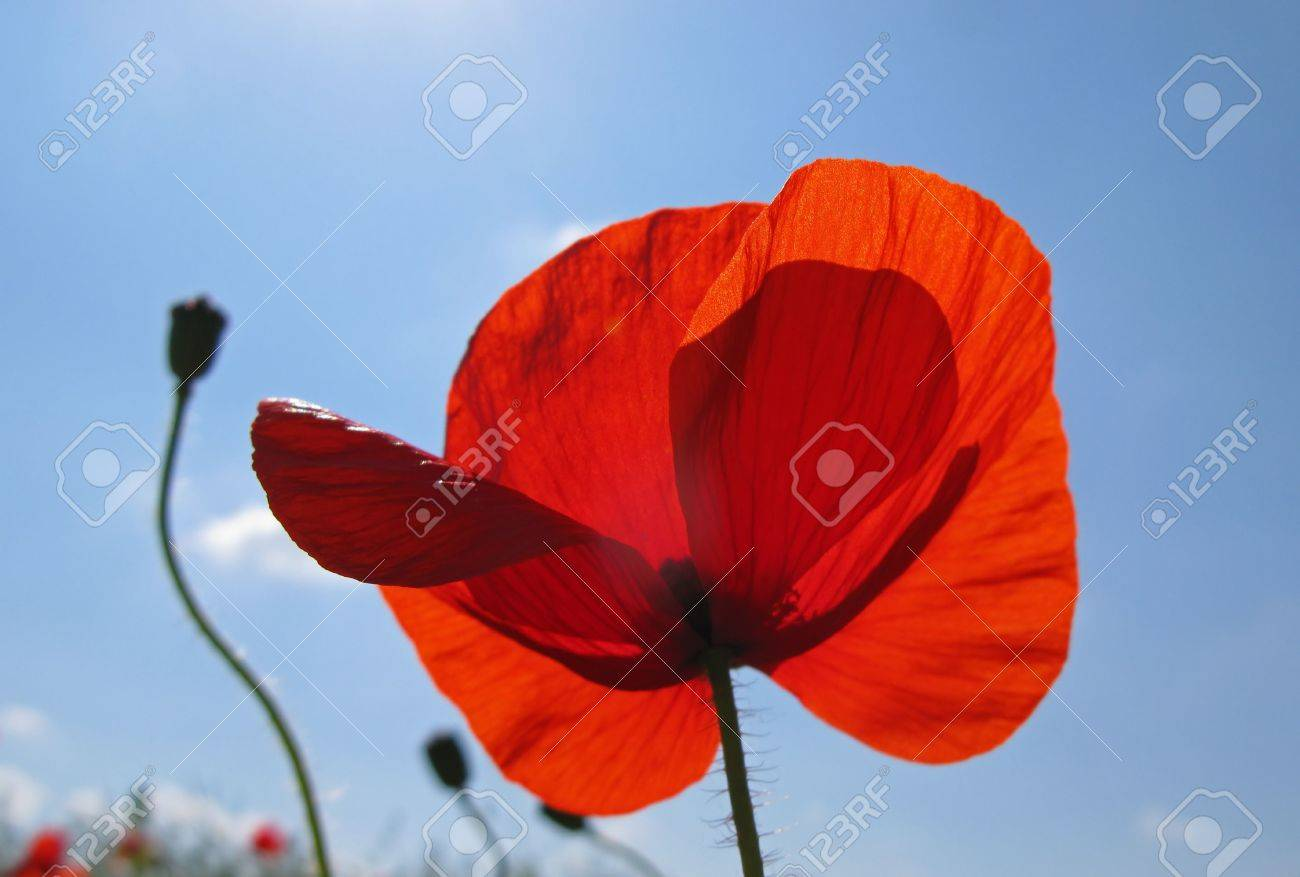 Bright Flowers Of Steppe Poppy Of Red Color On Background Of.. Stock ...