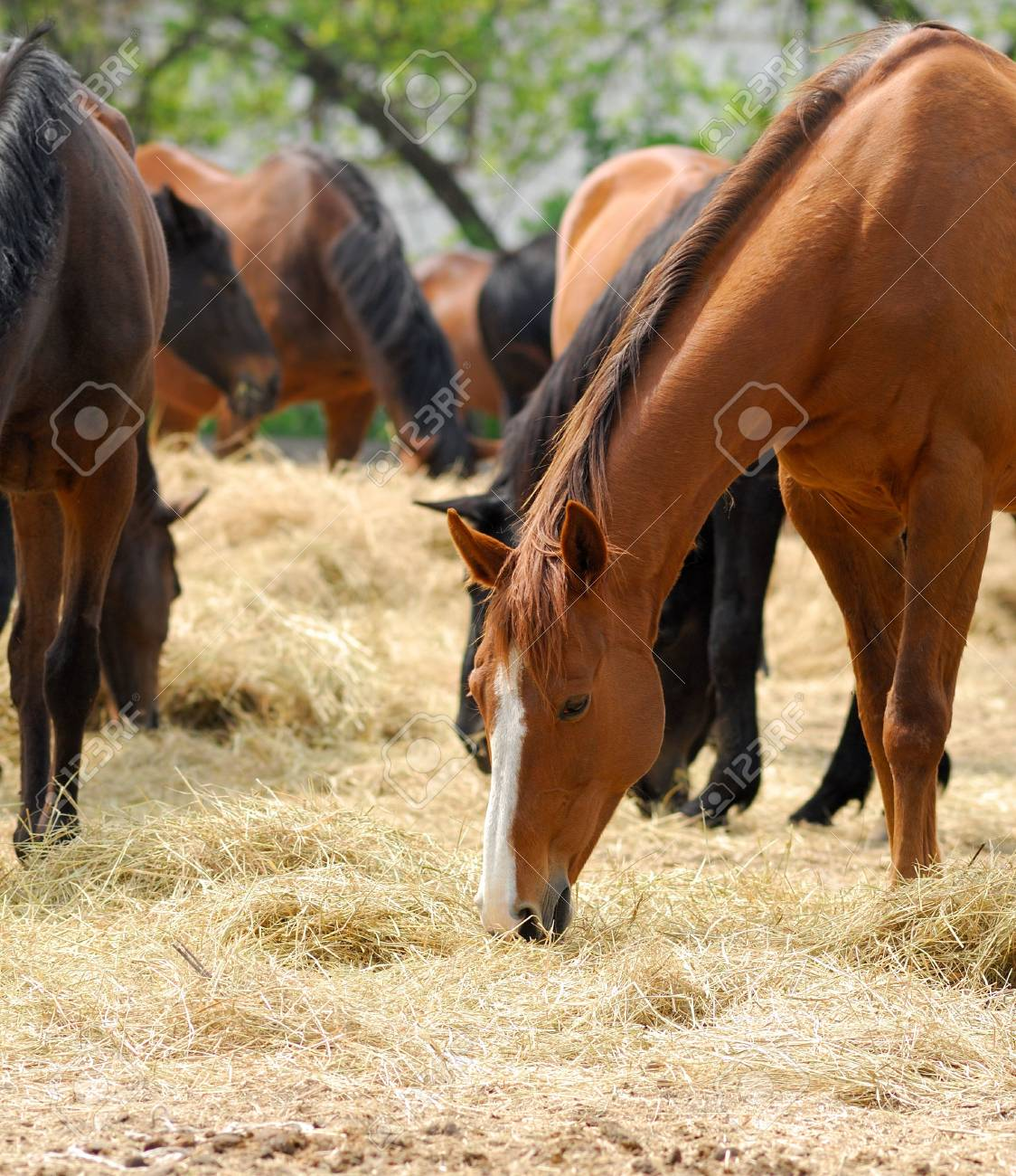 Horses of  English breed in shelter on  farm in solar, summer day Stock Photo - 5203659