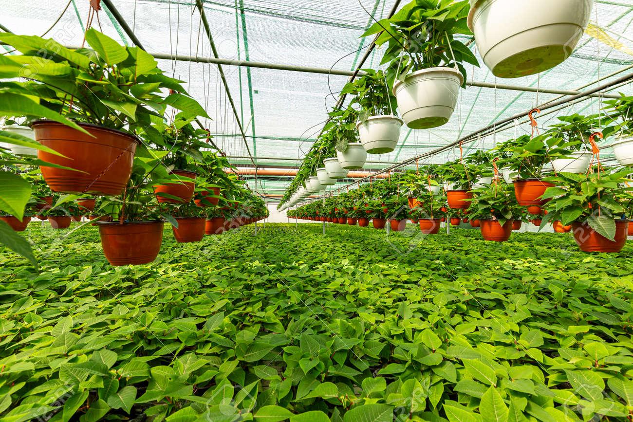 Plants nursery in a greenhouse. - 155871234