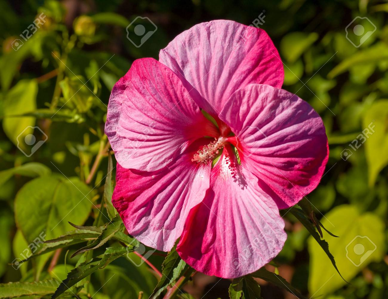 Close Up Shot Of A Huge Pink Flower In A Garden Stock Photo Picture