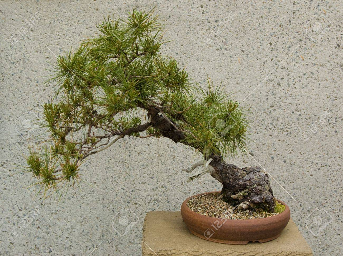 A Very Old Cedar Bonsai Tree Growing In An Indoor Garden Stock Photo Picture And Royalty Free Image Image 3139546