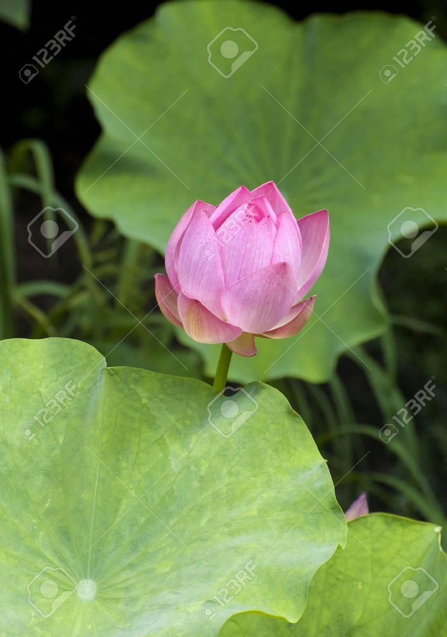 An half open lotus flower with leaves stock photo picture and an half open lotus flower with leaves stock photo 5274612 izmirmasajfo