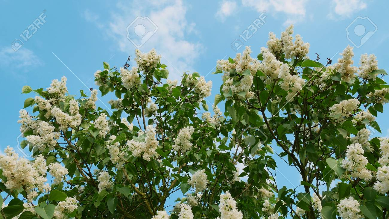 Lilac flowers on a tree on a background of blue sky in late spring lilac flowers on a tree on a background of blue sky in late spring this mightylinksfo