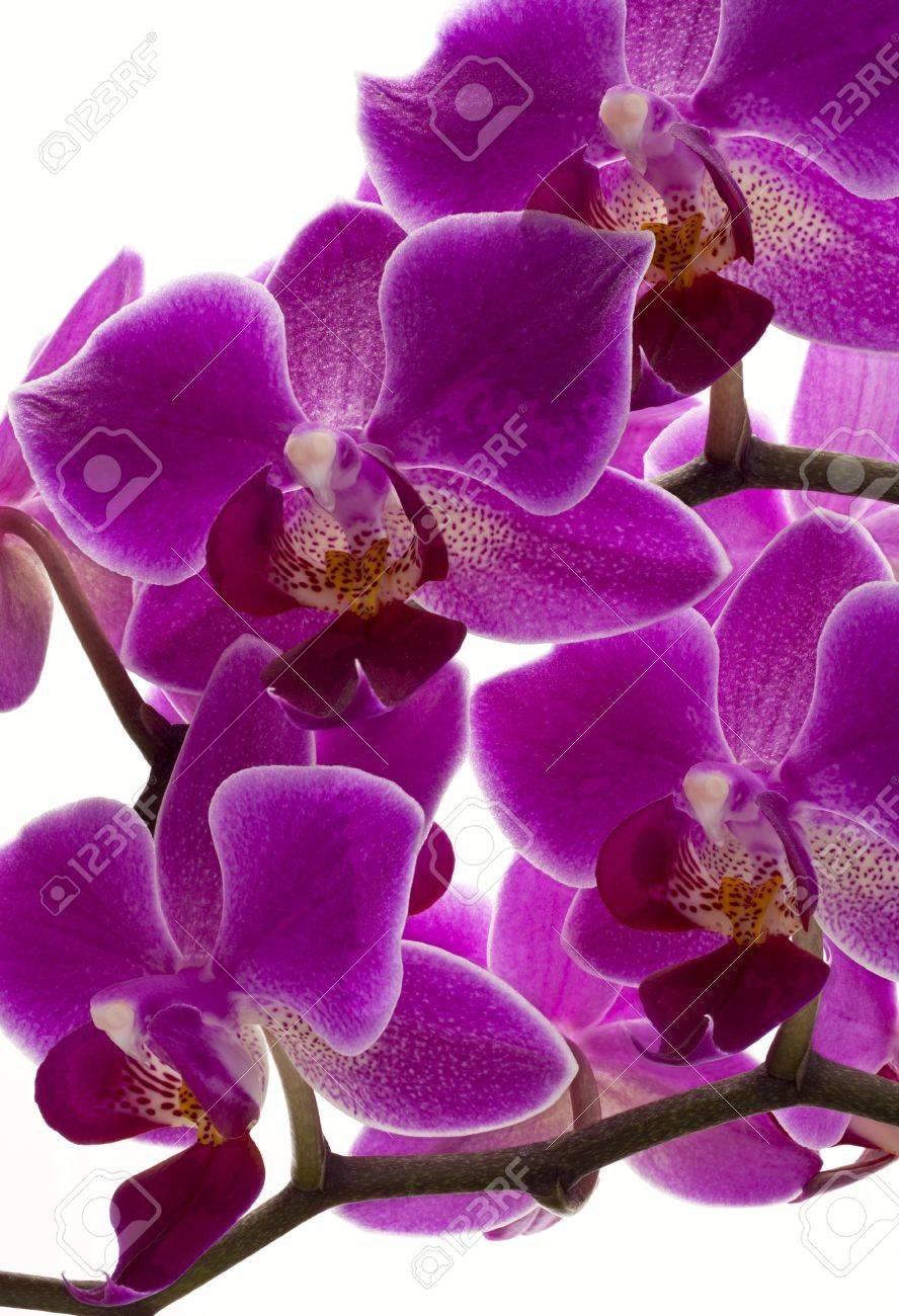 Flower Orchid Flowers Purple Nature