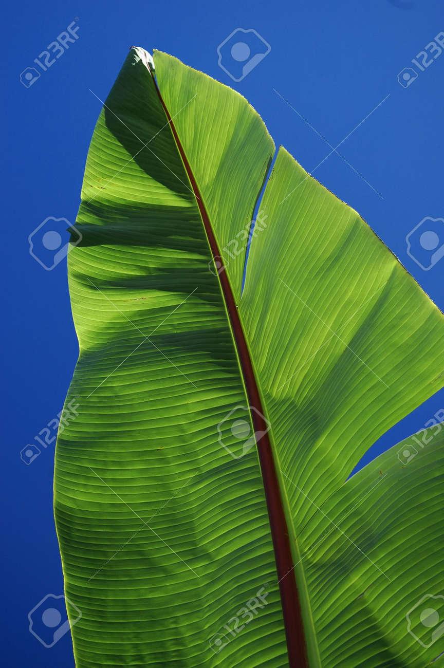 Banana Leaf Stock Photo - 561969