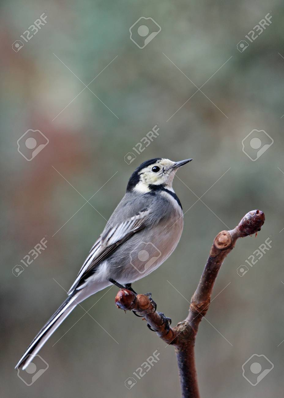 A Pied Wagtail - Motacilla alba - perched on a Horse Chestnut branch. Stock Photo - 4305318