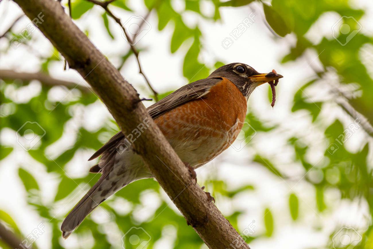 Low angle closeup image of an Eastern Robin subspecies of American Robin (Turdus migratorius) perching on a tree branch holding an earth worm in its beak. - 168489566