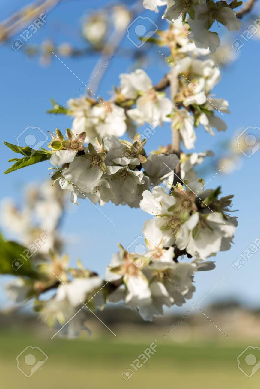 Almendro en flor, Mallorca, Baleares - 27734338