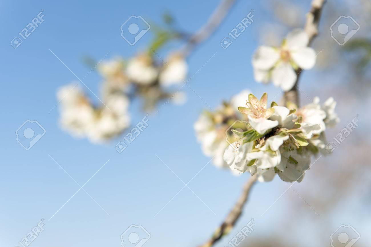 Almendro en flor, Mallorca, Baleares - 27734339